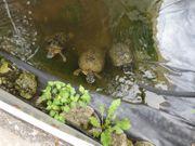 zu vergeben 4 grosse Wasserschildkröte
