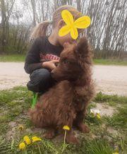 Kleiner Braunbär - reinrassiges Mudi Welpen-Kind