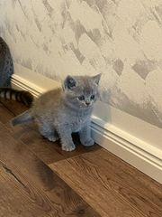 Bkh Scottish Fold Katzenbabys