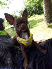 Chihuahua Welpe 5 Monate kurzhaar