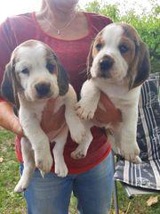 Beagle - Welpen