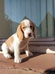 beagle welpen extoic farbe