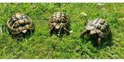 Griechische Landschildkröten Testudo hermanni NZ