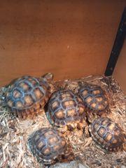Spornschildkröten Nachzuchten von 2020