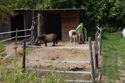 sanfter Mini-Pony Senior sucht Freund
