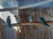 blaue barnardsittiche zu verkaufen