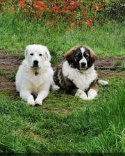 Wurfankündigung Sarplaninac Pyrenäenberghund Herdenschutz