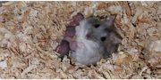 Süsse Zwerghamsterbabys weiss oder grau
