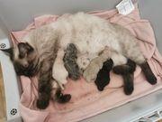 BKH Kitten geboren