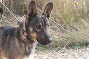 Schäferhund-Mischling Maya - Hündin aus dem