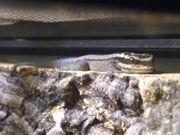 lygodactylus kimhowelli - Streifen Zwerggecko