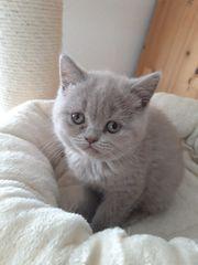 BKH Kitten lilac und blue