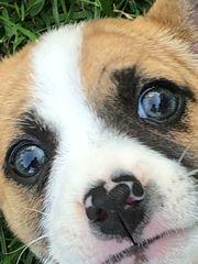 suche Deckrüde Jack Russel Terrier
