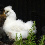 Seidenhühner zu verkaufen