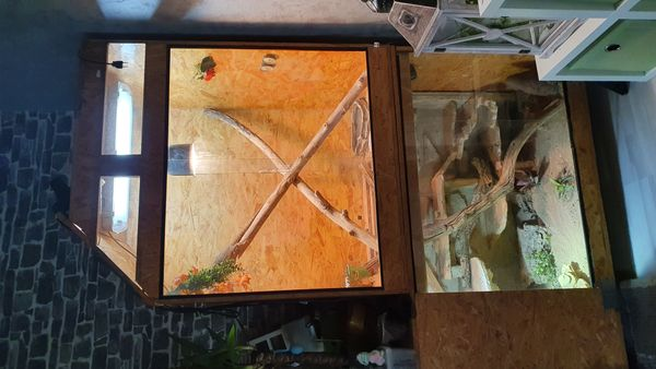 2 Bartagame mit Terrarium