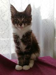 Maine Coon Kittenmädchen mit tollem