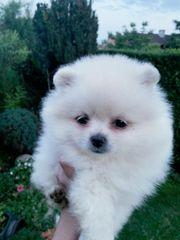 Pomeranian männlichen Welpen 11 Wochen