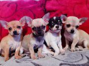 Noch 4 süße Chihuahuawelpen suchen