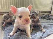 Französische Bulldogge Welpen Lilac Merle