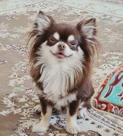 Typvoller Chihuahua Rude Schoko tan