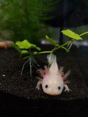 Axolotl Jungtiere 7-12 cm - Weißlinge