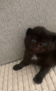 Russisch blau Perser mix kitten