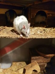 super süße Rex Ratten mädels