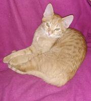 Wunderschöne rote BKH- Mix Katze