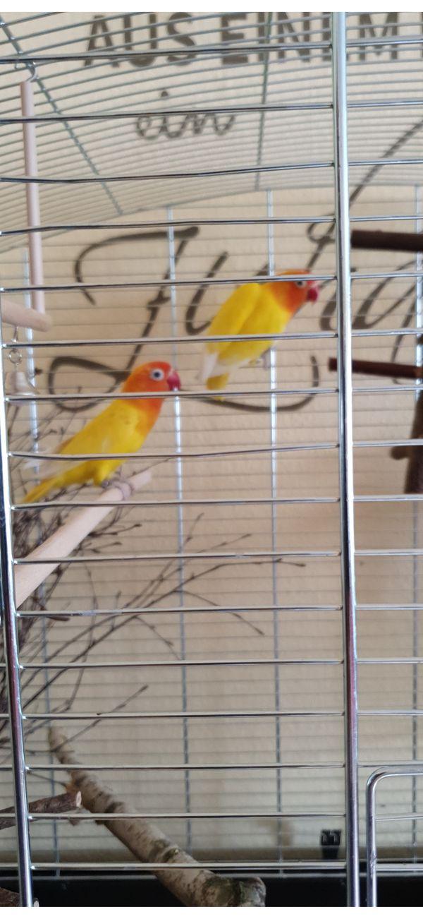 Pfirsichköpfchen mit Käfig