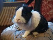 Tolle Kaninchen Mädchen abzugeben komplett
