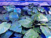 Anubias Mutterpflanzen