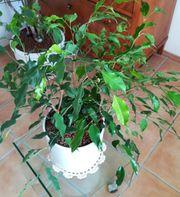 Ficus in Hydrokultur
