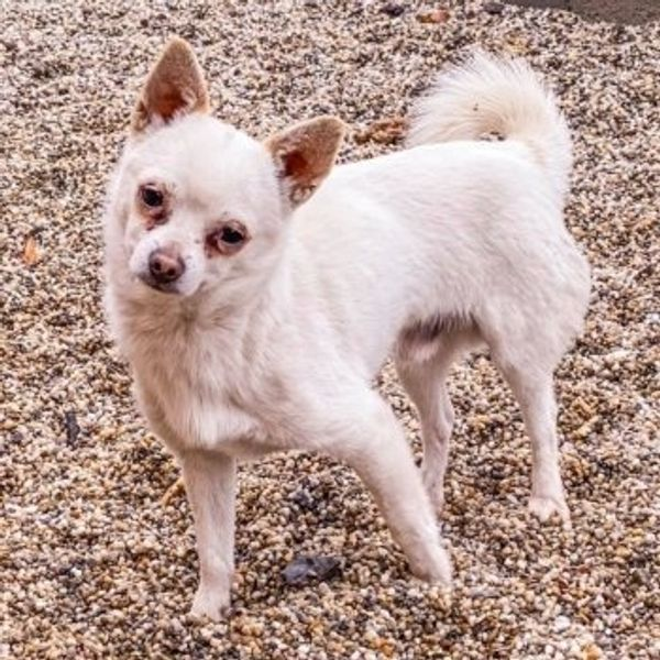 Chihuahua-Mix Little Joe