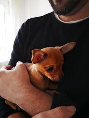 Chihuahua Welpen 750EUR