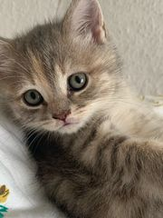 1 BKH kitten weiblich