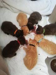 Süße reinrassige Bkh Kitten