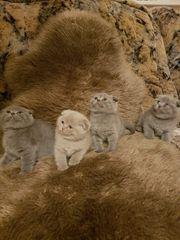 Britisch Kurzhaar Kitten Scottish Fold