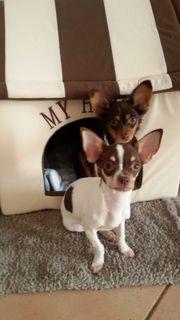 Trennungshunde abzugeben Chihuahua Prager Rattler
