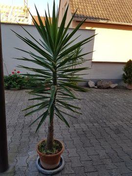 Pflanzen - Yucca Palmen gratis Klivie
