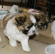 wir dürfen ausziehen-wunderschöne Welpen- Familienhunde