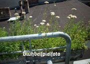 Echte Schafgarbe Wildkräuter Wildblume Heilkraut