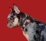 Wurfplanung Frops - Welpen Französische Bulldogge -