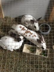 Dalmatinerrex Kaninchen