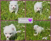 Zwergspitz Pomeranian Welpen weiß creme