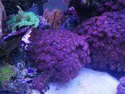 krustenanemonen alien explosion korallen