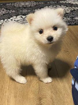 Zwergspitz Pomeranian Hunde Kaufen Verkaufen Auf Quoka De
