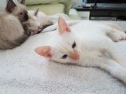 ZUCKERSÜßE Heilige Birma Siam Kitten