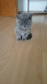 BKH Kitten in blue