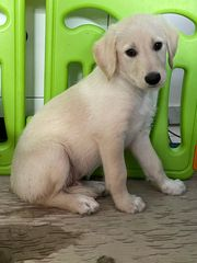 Pudel-Labrador-Mix Welpen Labradoodle-Mix