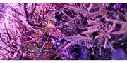 Kupferanemone Pilzlederkoralle Gorgonie